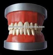 OSAKA DENTAL Teaching Model of Phantam USA