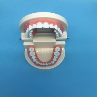 Student Teaching Teeth Model